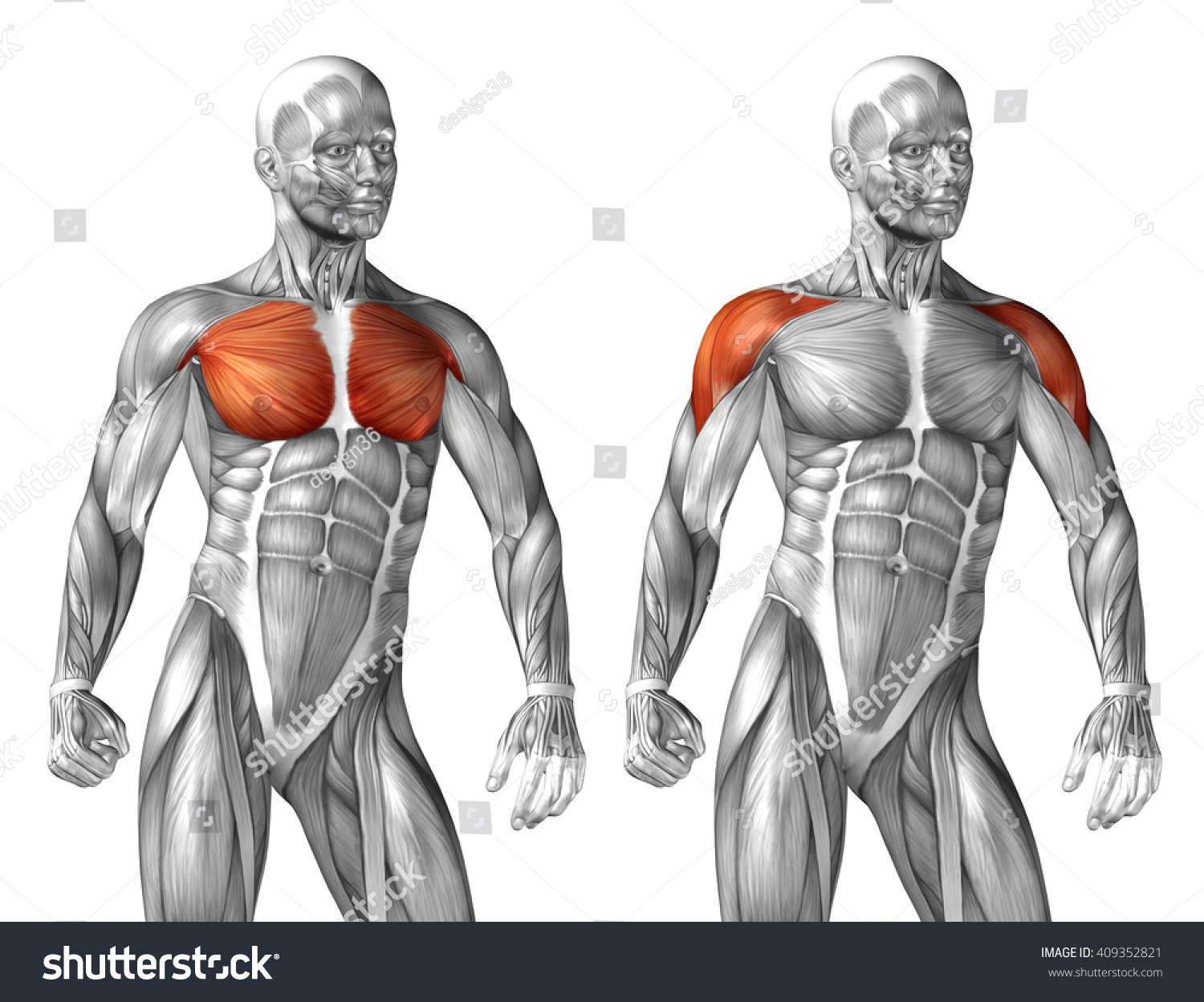 Royalty Free Stock Illustration Of Concept 3 D Chest Human Anatomy