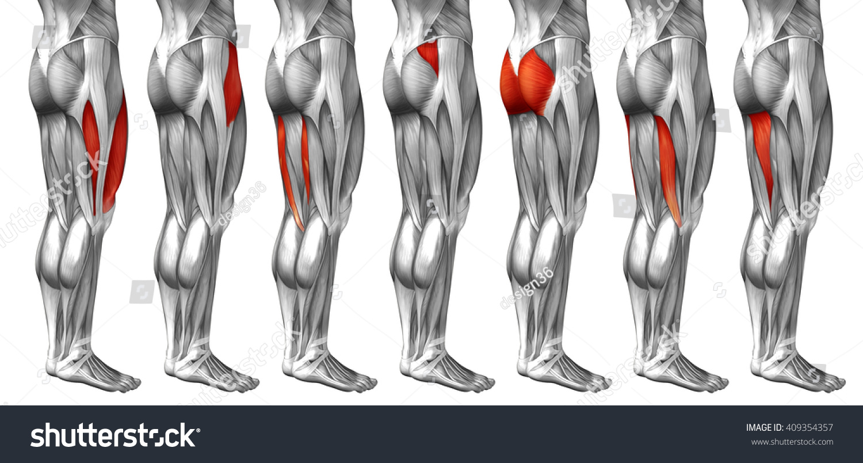 Concept 3 D Human Upper Leg Anatomy Stock Illustration 409354357 ...