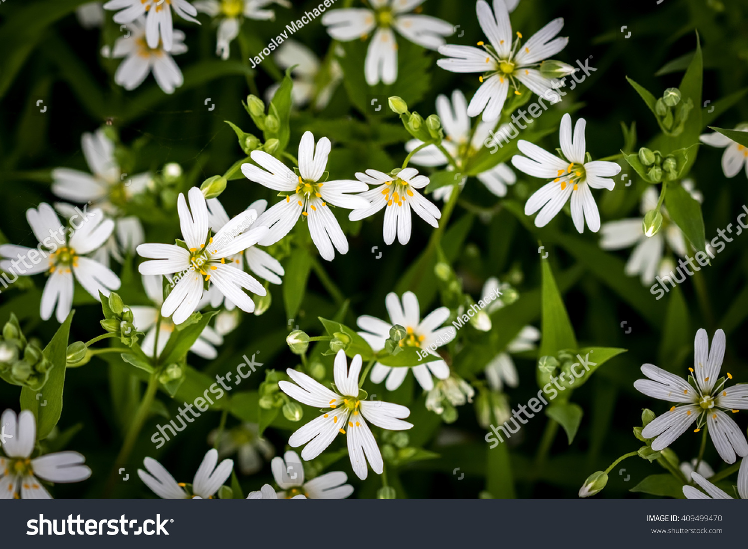 Amazing Spring White Flowers Of Chickweed On Green Background With