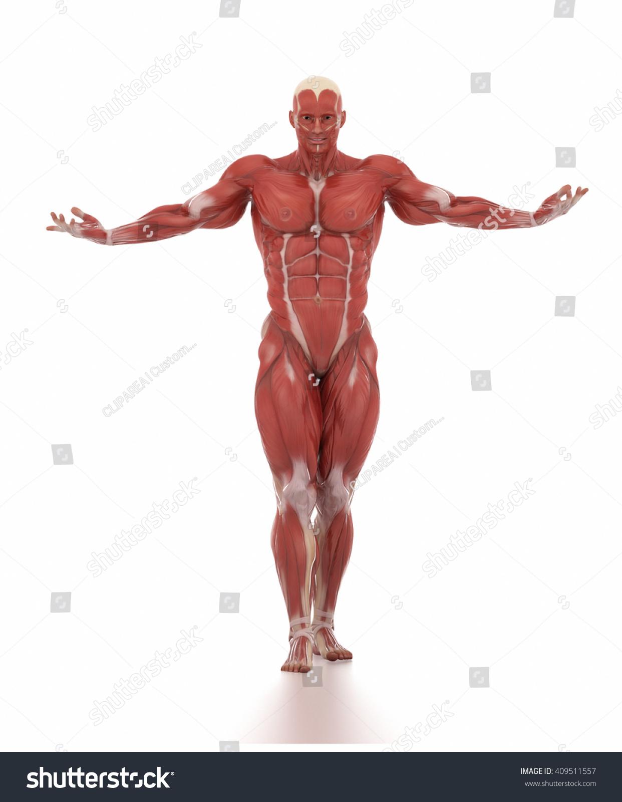 Anatomy Muscle Map White Isolated Bodybuilding Stock Illustration ...