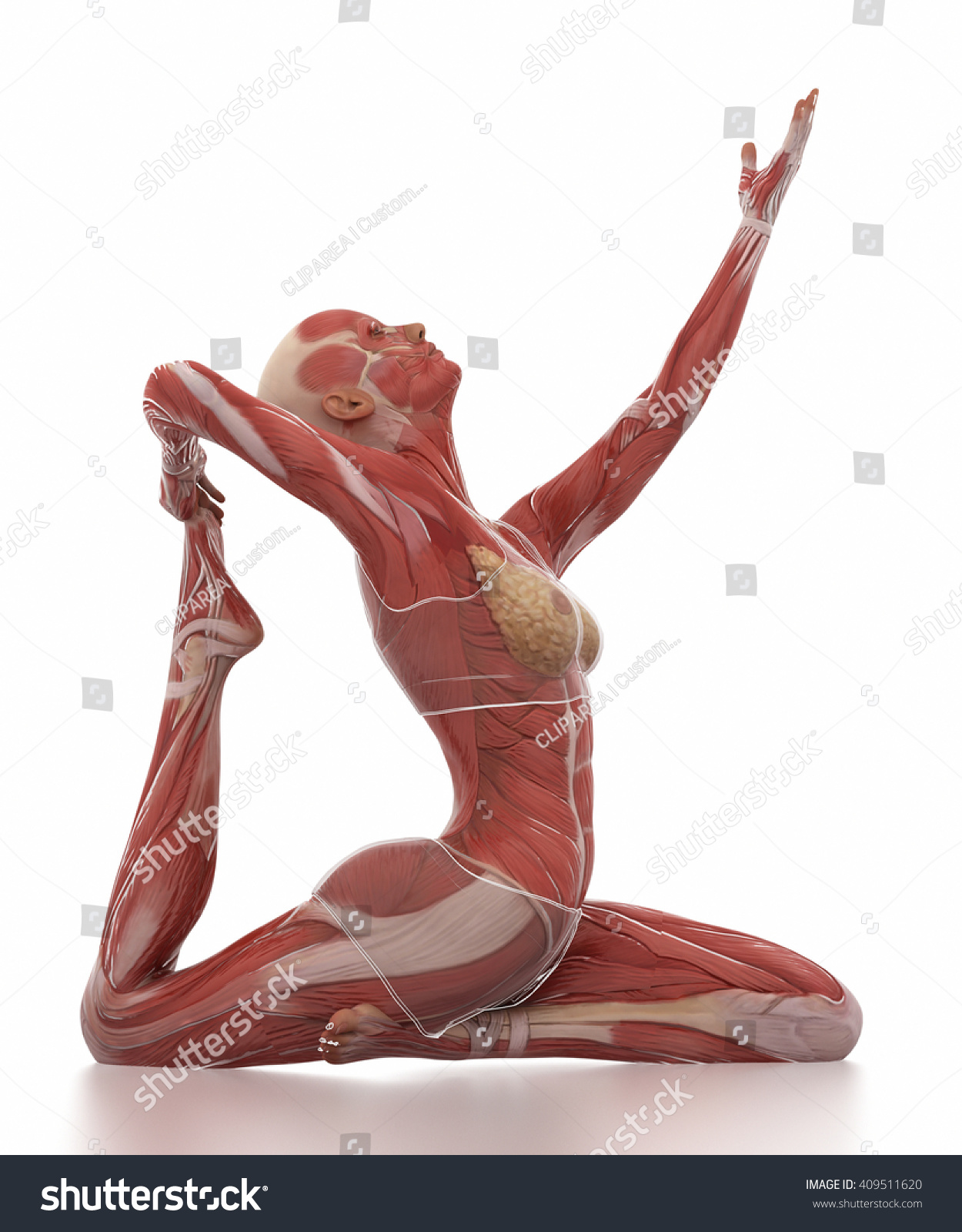 Anatomy Muscle YOGA White Isolated Stock Illustration 409511620 ...