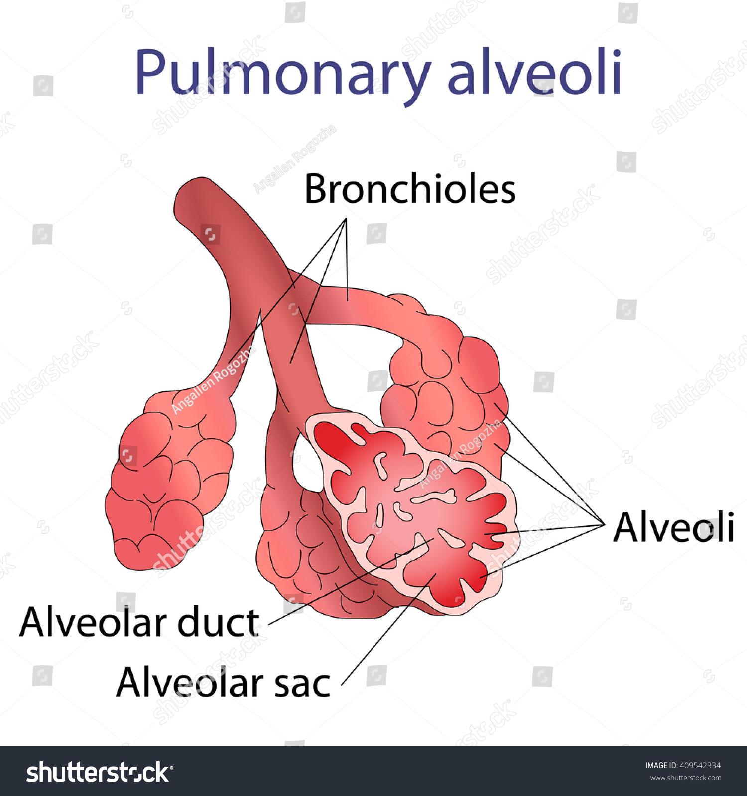 Illustration Human Alveoli Structure Stock Vector (Royalty Free ...