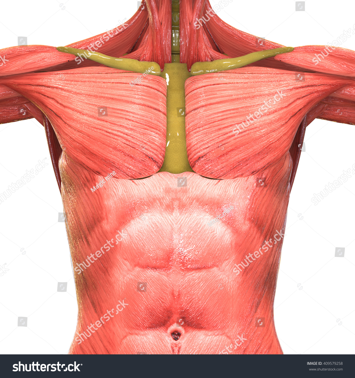 Human Muscle Body Anatomy 3 D Stock Illustration Royalty Free
