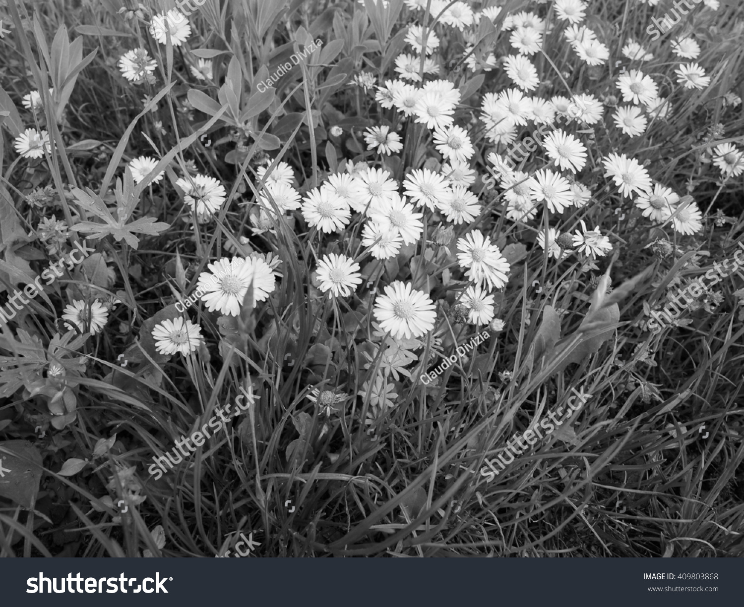 White Daisy Bellis Perennis Aka Common Daisy Or Lawn Daisy Or
