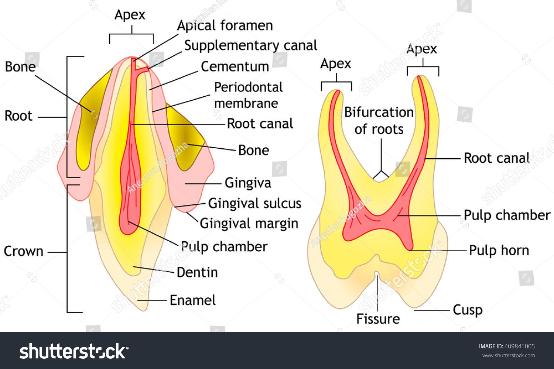 Tooth Anatomy Diagram Vector Illustration Stock Vector 409841005 ...