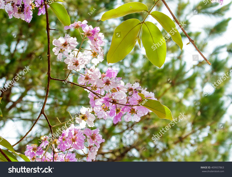 Pink Color Queens Crape Myrtle Flowerlagerstroemia Stock Photo ...