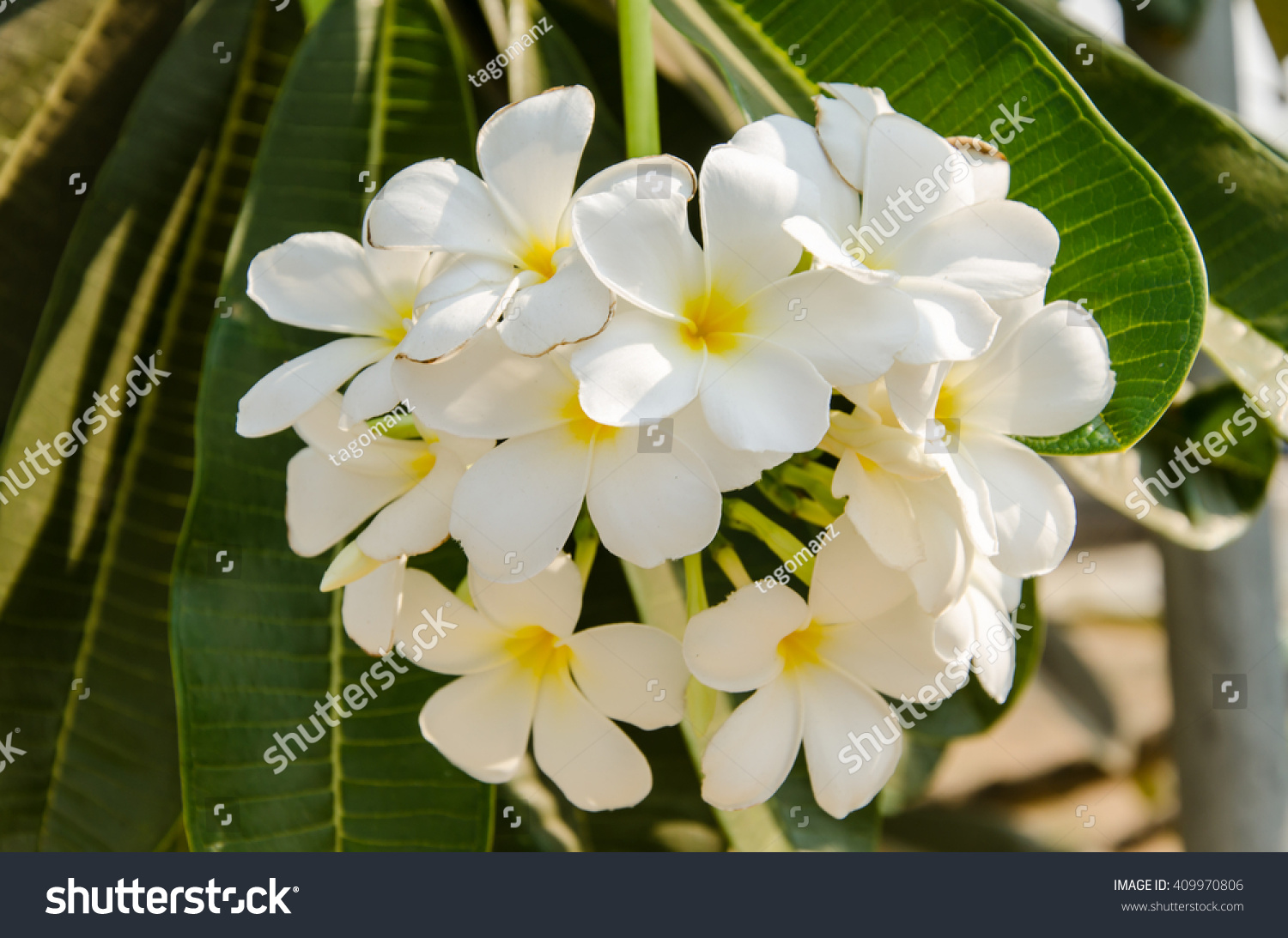 White And Yellow Plumeria Frangipani Flowers With Leaves Background