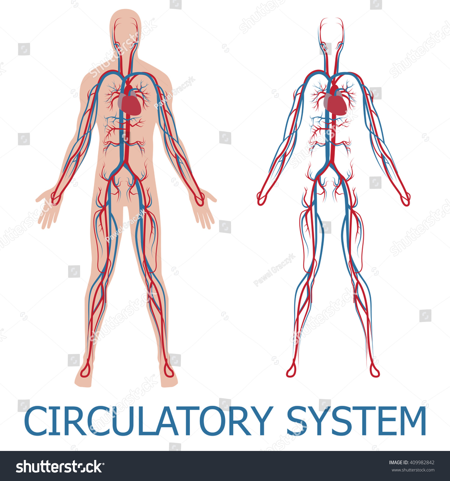 Human Circulatory System Vector Illustration Blood Stock Vector