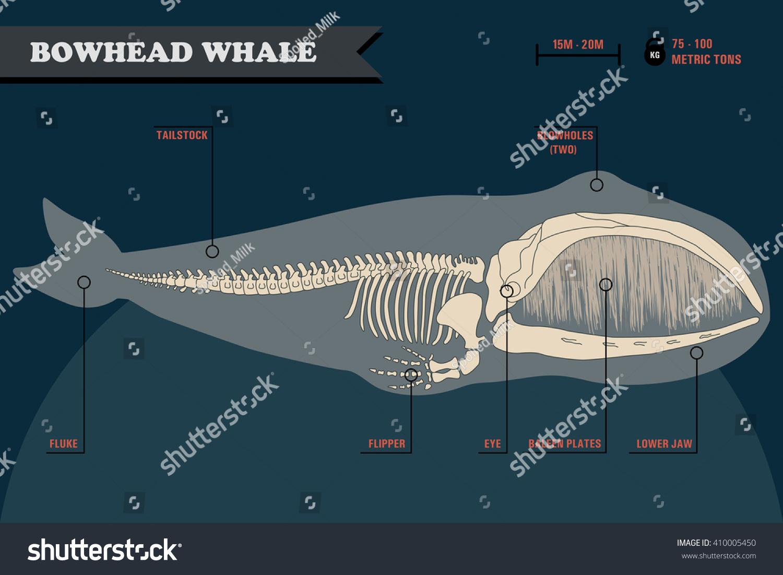 Blue Whale Skull Diagram - Electrical Work Wiring Diagram •