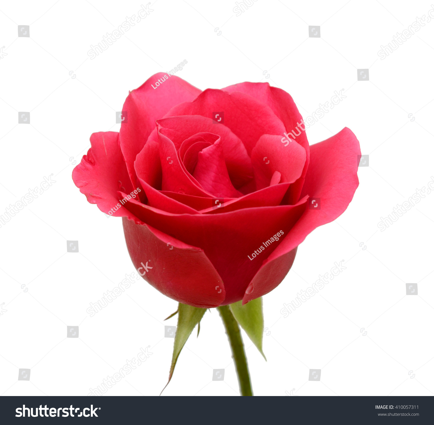 Beautiful Red Rose Flower Isolated On White Background Ez Canvas
