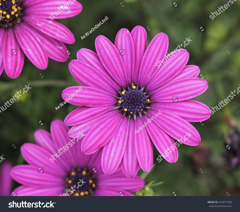 Purple Daisy Ez Canvas