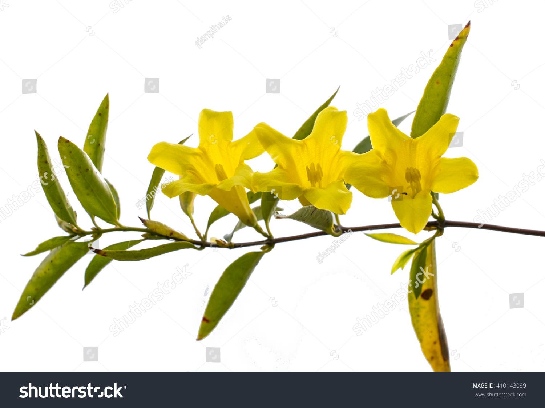 Gelsemium sempervirens yellow jessamine flowers white stock photo gelsemium sempervirens or yellow jessamine flowers white background izmirmasajfo Images