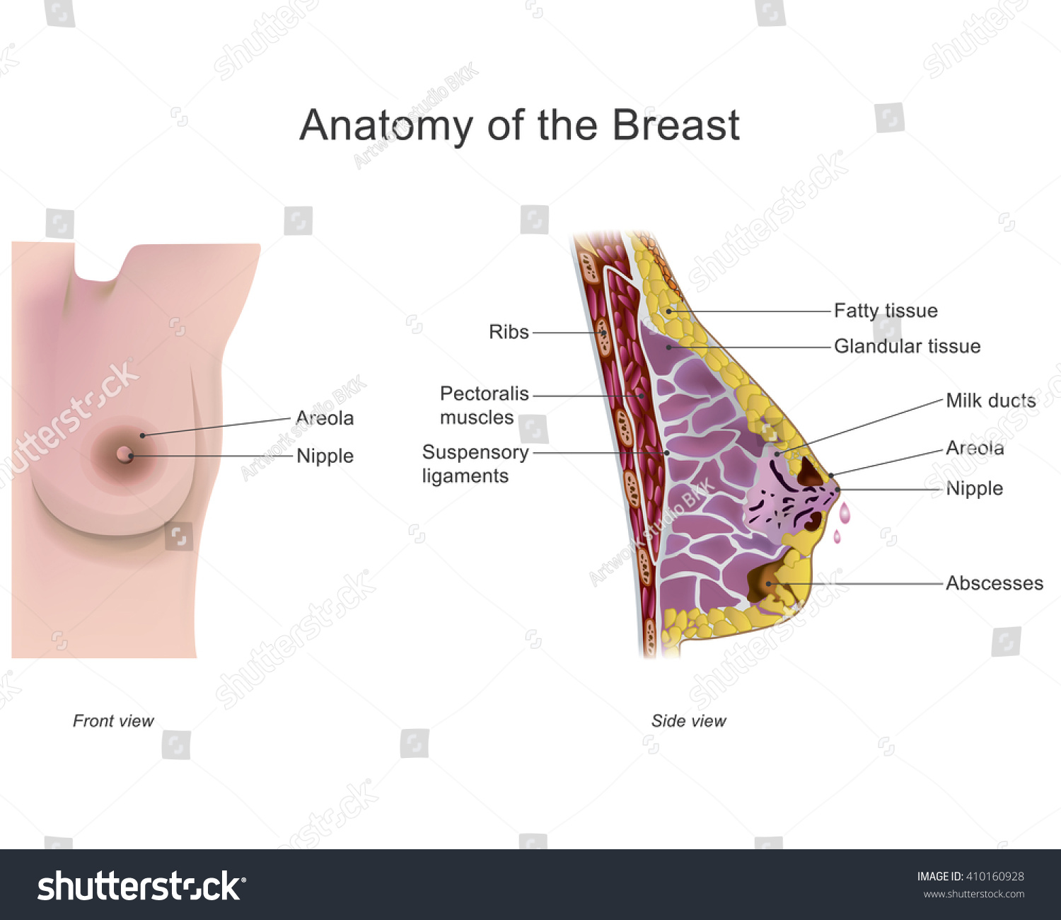 Breast One Two Prominences Found On Stock Vector 410160928