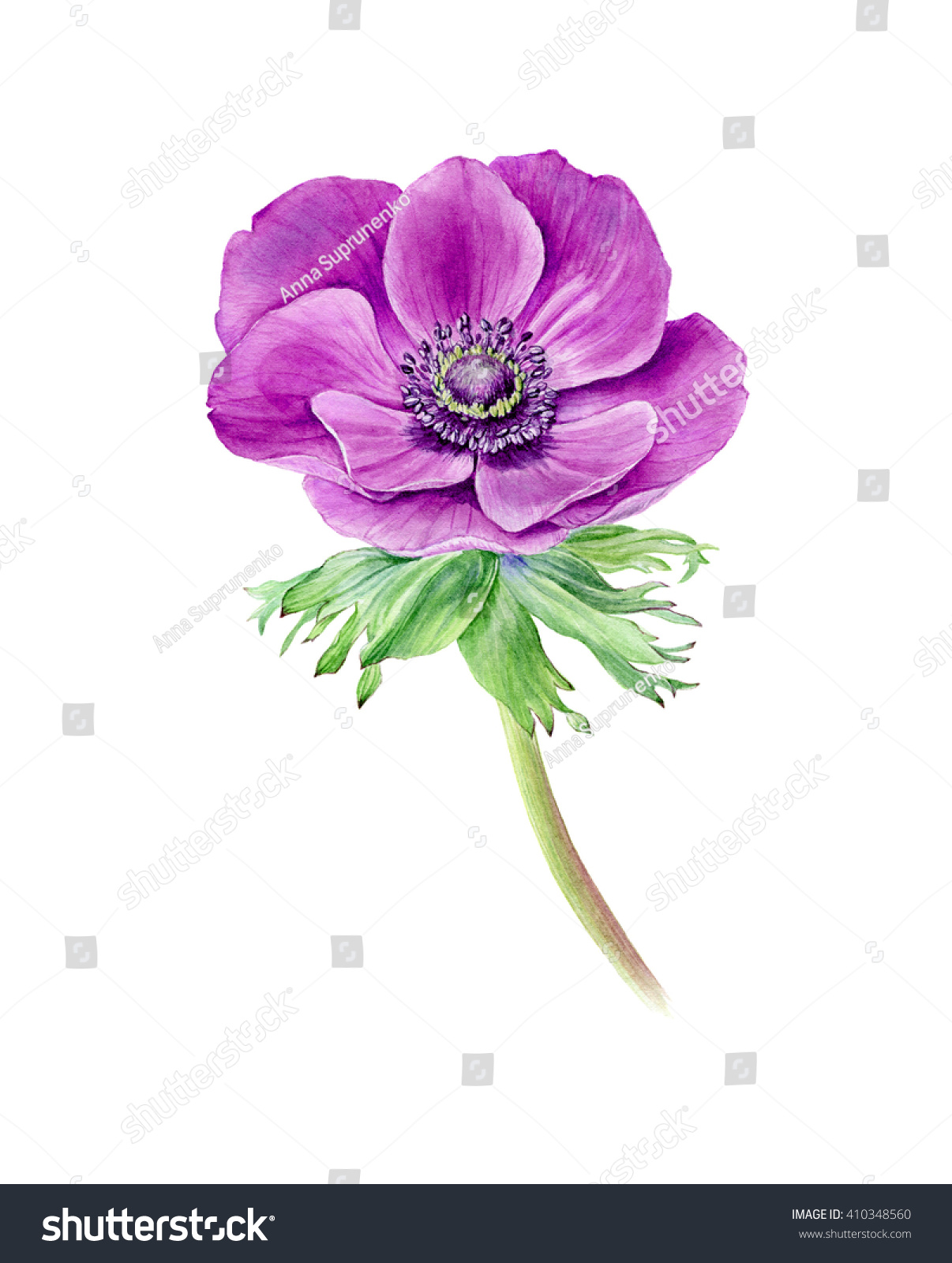 Hand Drawn Watercolor Pink Anemone Flower Stock Illustration