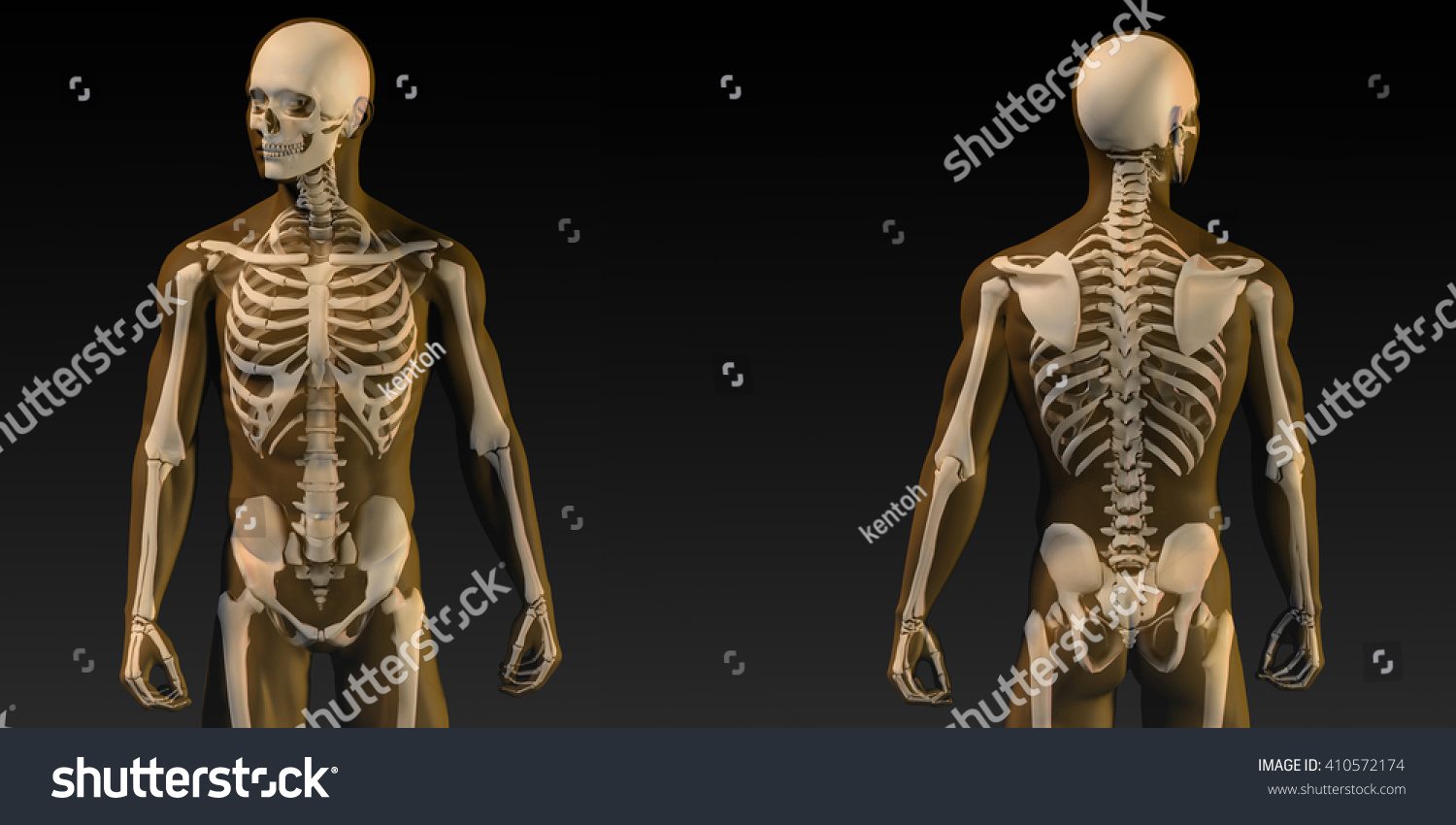 Human Anatomy Visible Skeleton Muscles Art Stock Illustration