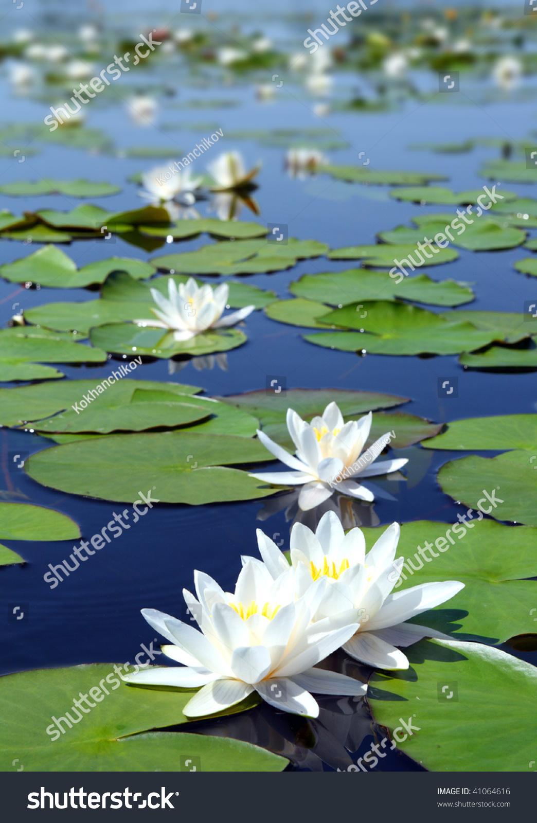 Summer lake waterlily flowers on blue stock photo edit now summer lake with water lily flowers on blue water izmirmasajfo