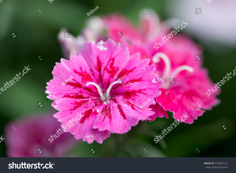 Couple Bright Cerise Pink Flowers Ez Canvas