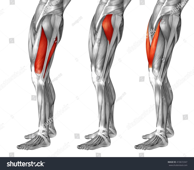 Concept 3 D Human Upper Leg Anatomy Stock Illustration 410672347 ...