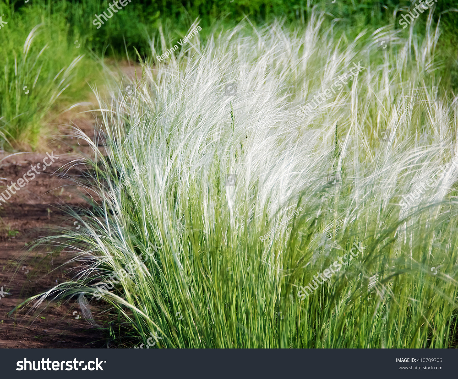 Feather grass found ornamental plants garden stock photo for Ornamental feather grass