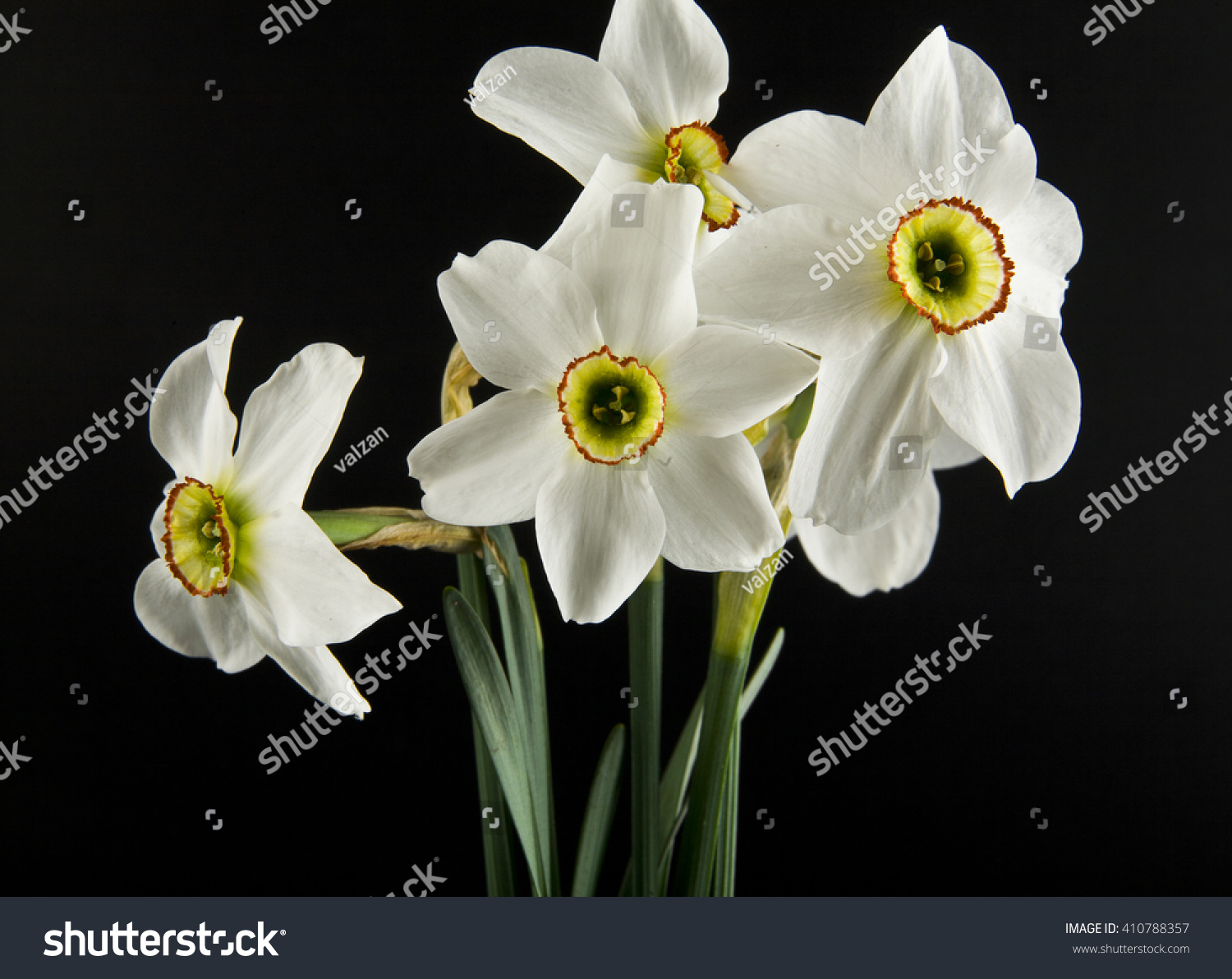 Spring Flowers Daffodils Isolated On A Black Background Ez Canvas