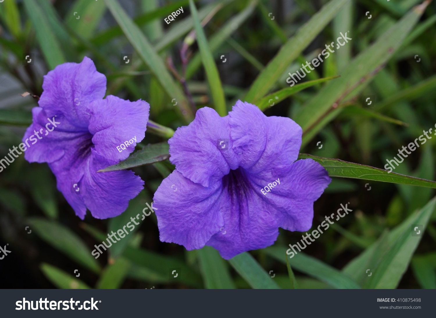 purple tropical flowers ruellia simplex mexican stock photo, Natural flower