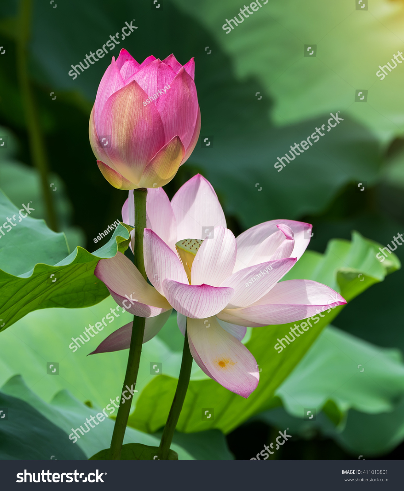 Lotus Flower Lotus Flower Plants Stock Photo Safe To Use 411013801
