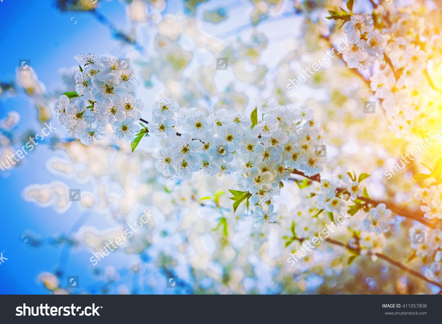 Royalty Free Cherry Tree With Beautiful Flowers 411057808 Stock