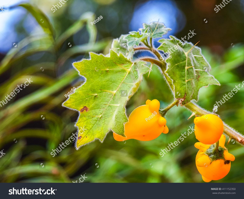 Titty Fruit Solanum Mammosum Beautiful Dangerous Stock Photo Edit