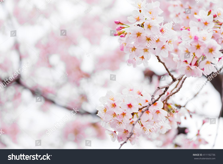 Sakura Or Cherry Blossom Flower Full Bloom In Spring Season Ez Canvas
