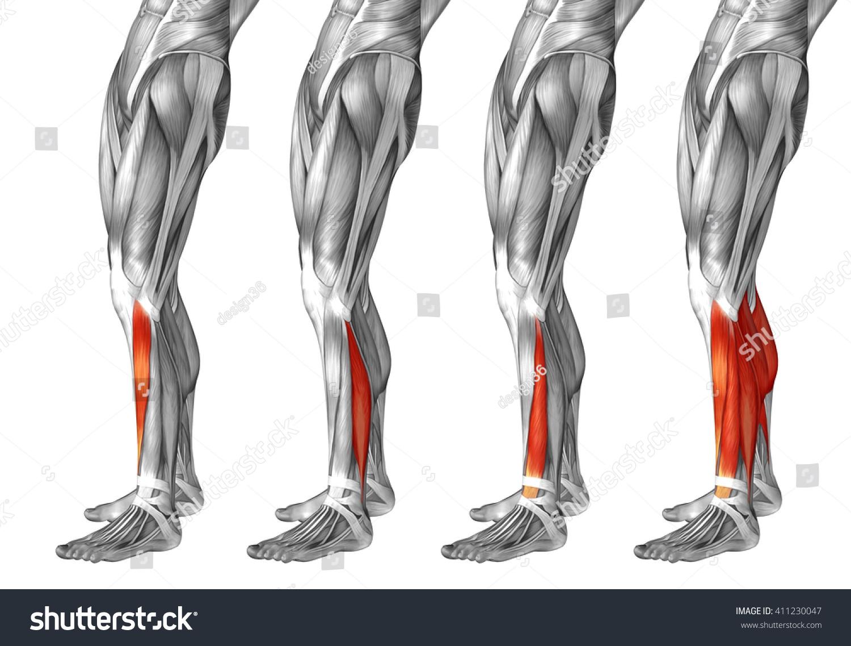 Concept 3 D Human Lower Leg Anatomy Stock Illustration 411230047