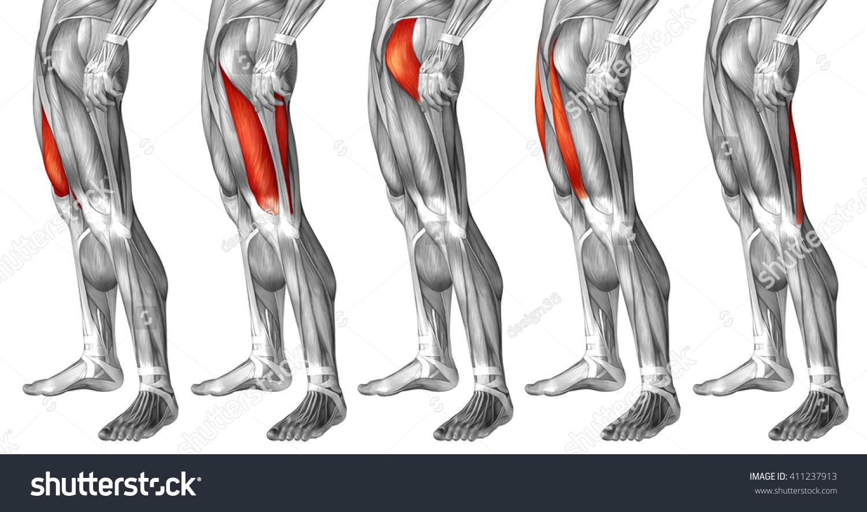 Anatomy Upper Leg Images - human body anatomy