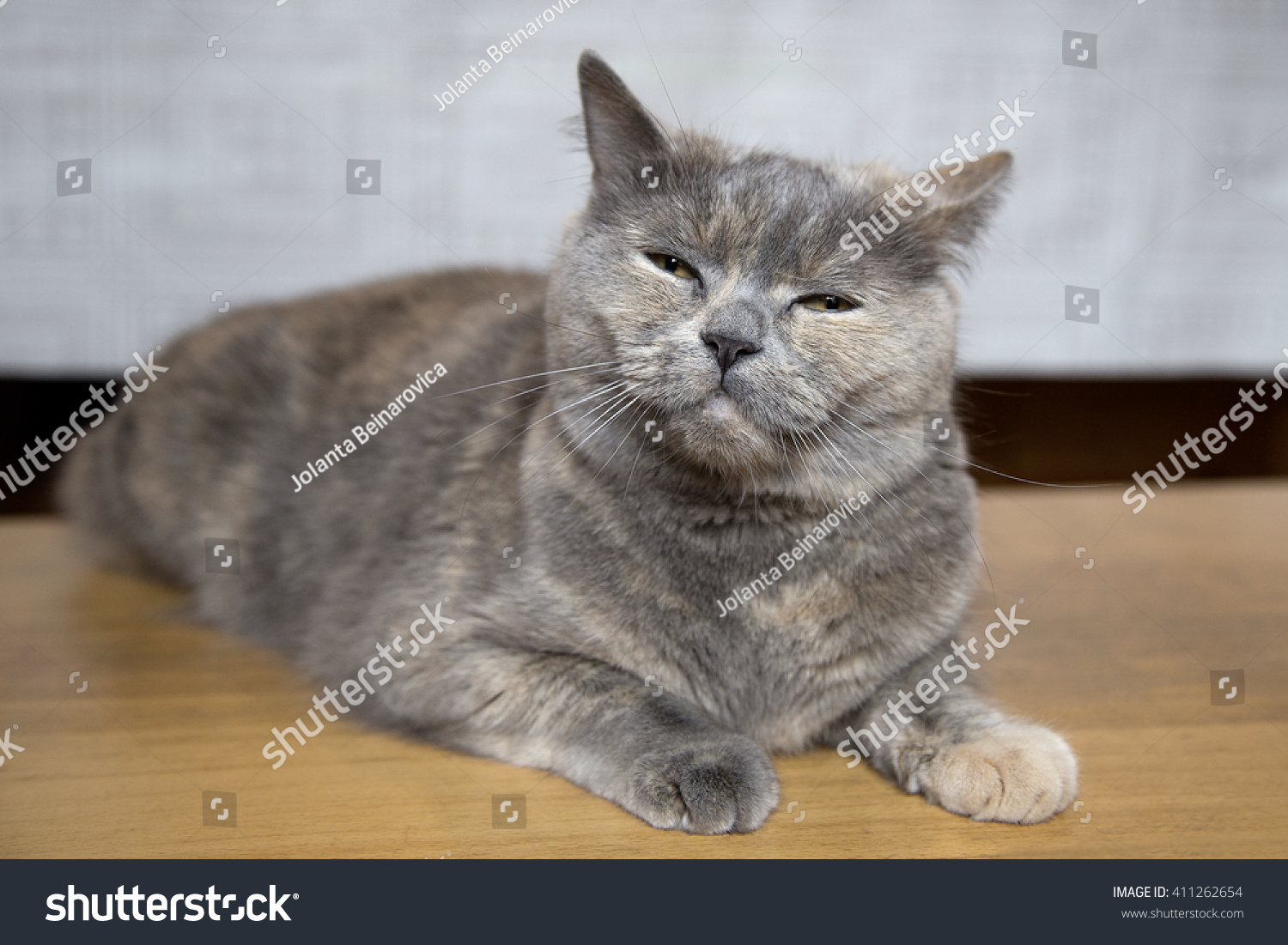 Cat Breed British Shorthair Gray Brown Stock Photo (Royalty Free ...