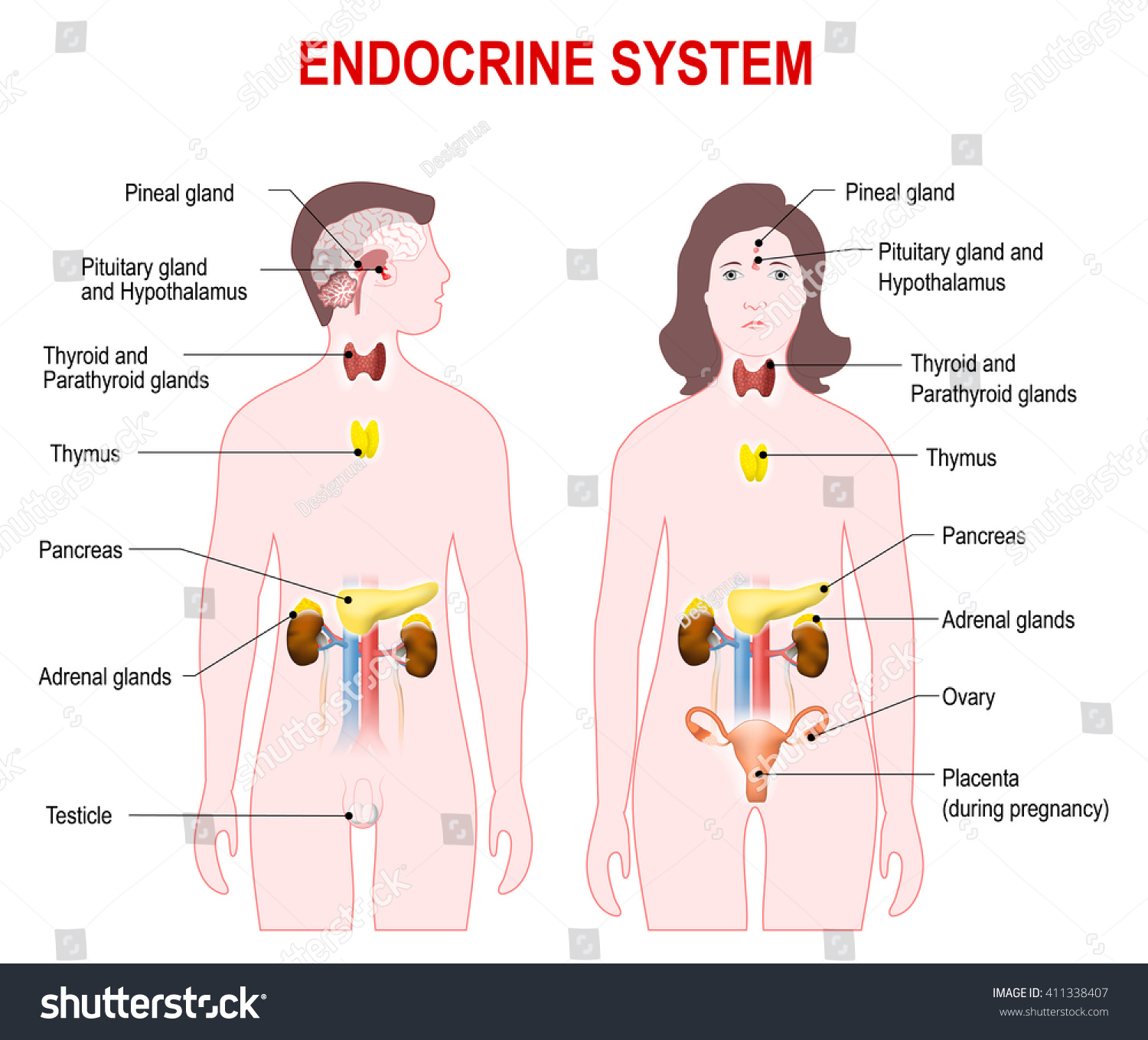 Endocrine System Man Woman Silhouette Highlighted Stock Vector