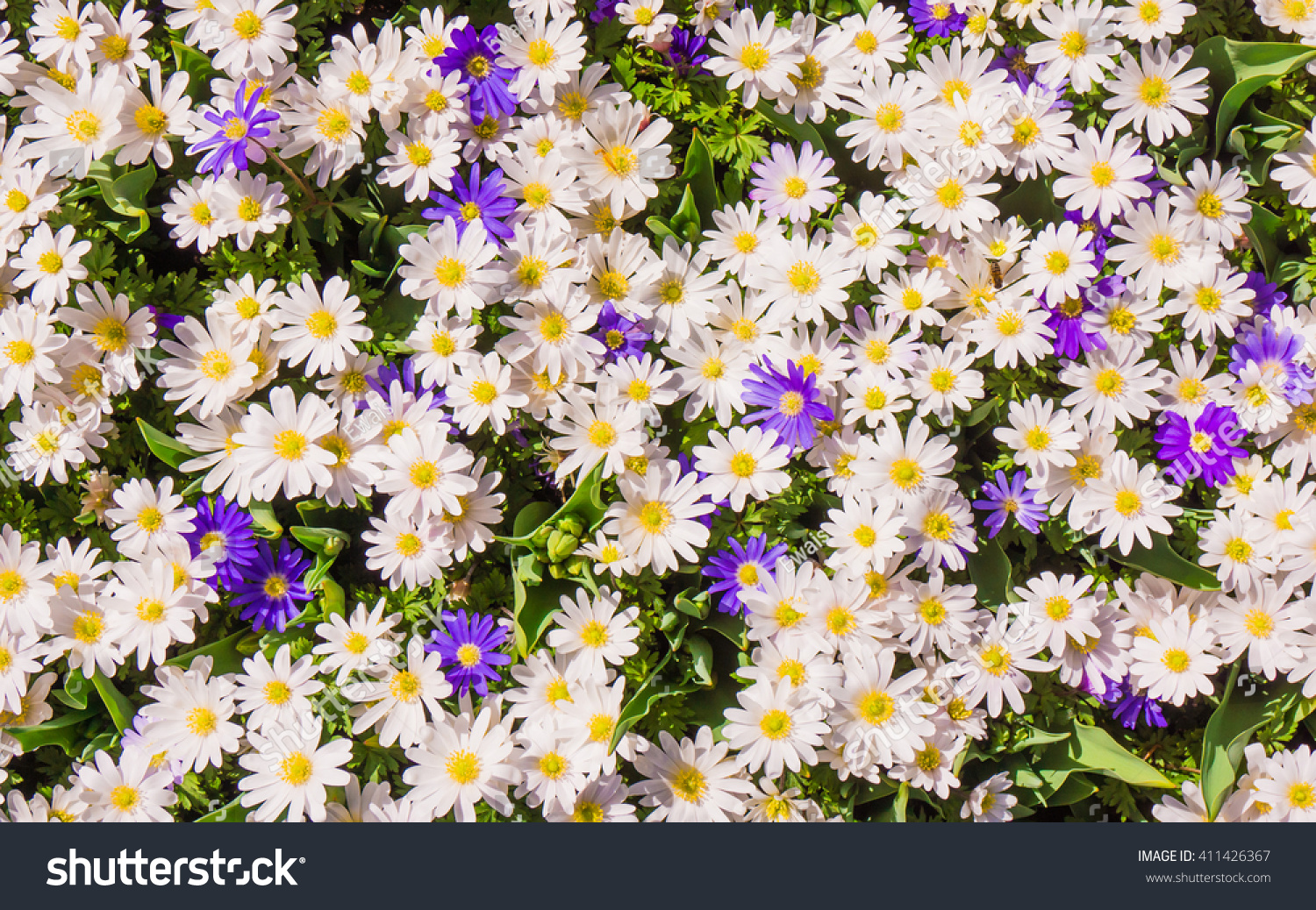 Daisy Flowers Flower Background Ez Canvas