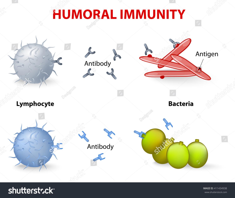Humoral Immunity Lymphocyte Antibody Antigen Vector Stock ...