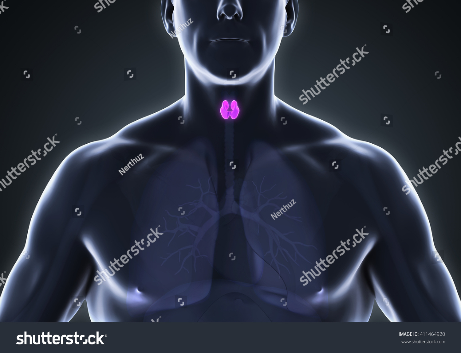 Human Thyroid Gland Anatomy 3D rendering