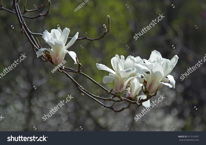 White Magnolia Bud Flowers White Magnolia Stock Photo Edit Now