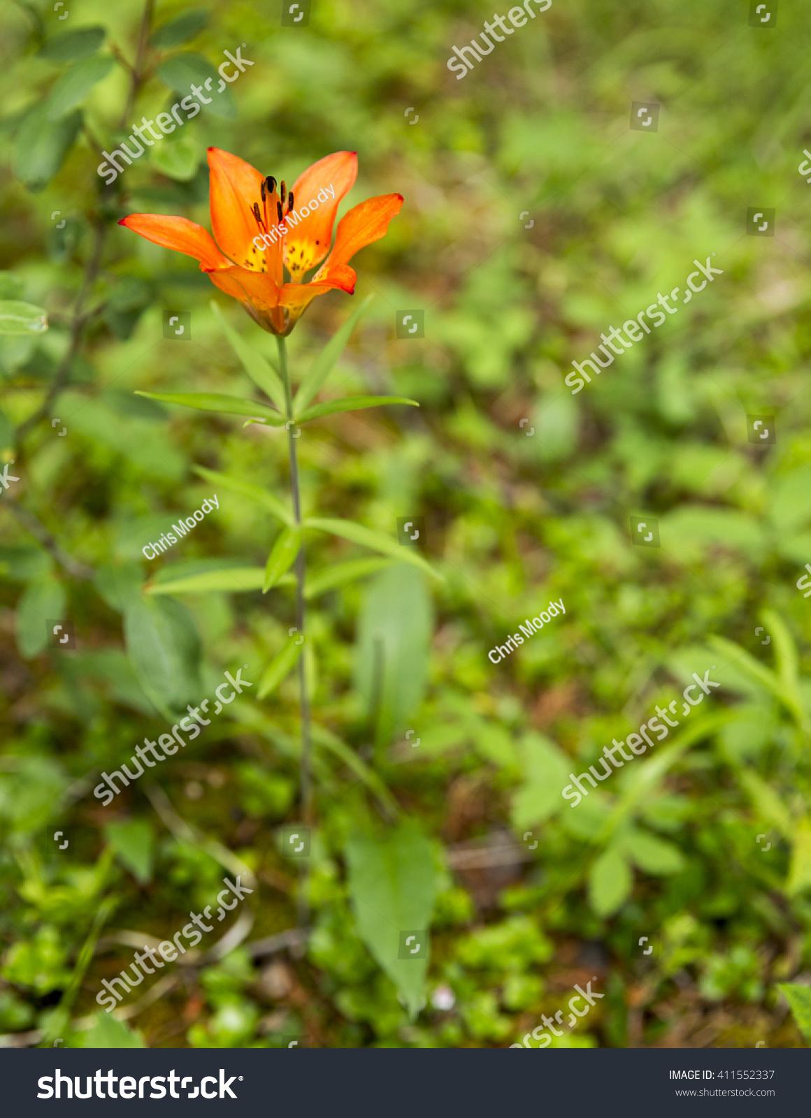 Prairie Lily Lilium Philadelphicum Firey Orange Stock Photo Edit