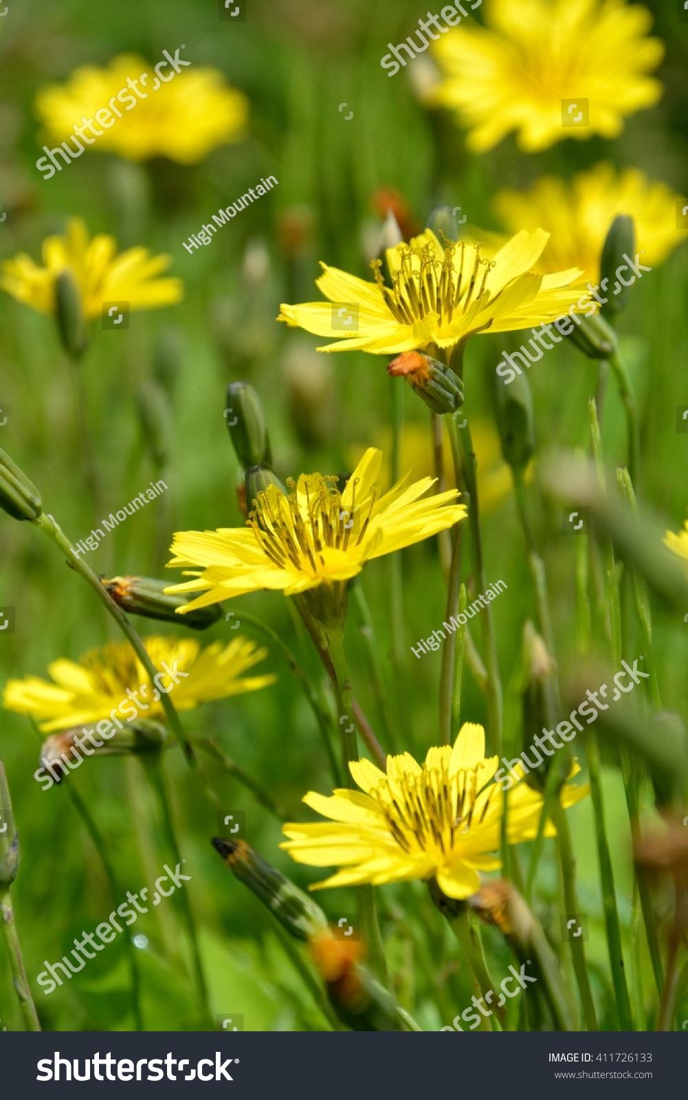 Yellow Flowers Oriental False Hawksbeard Youngia Stock Photo Edit