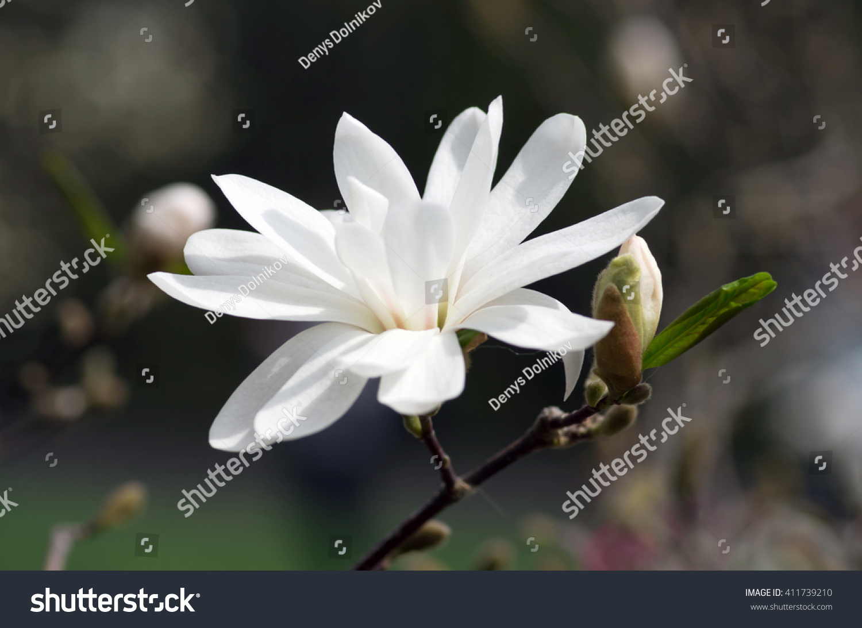 White Magnolia Flower Against The Sky Close Up Ez Canvas