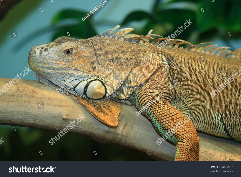 ... Iguana Lighting by Iguana Lizard In Terrarium Light Stock Photo & iguana lighting - iguana heating lighting and humidity animal ... azcodes.com