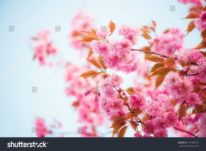 Pink Flowers Sakura Cherry Tree Spring Stock Photo Safe To Use