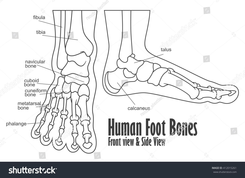 Human Foot Bones Front Side View Stock Illustration 412015261