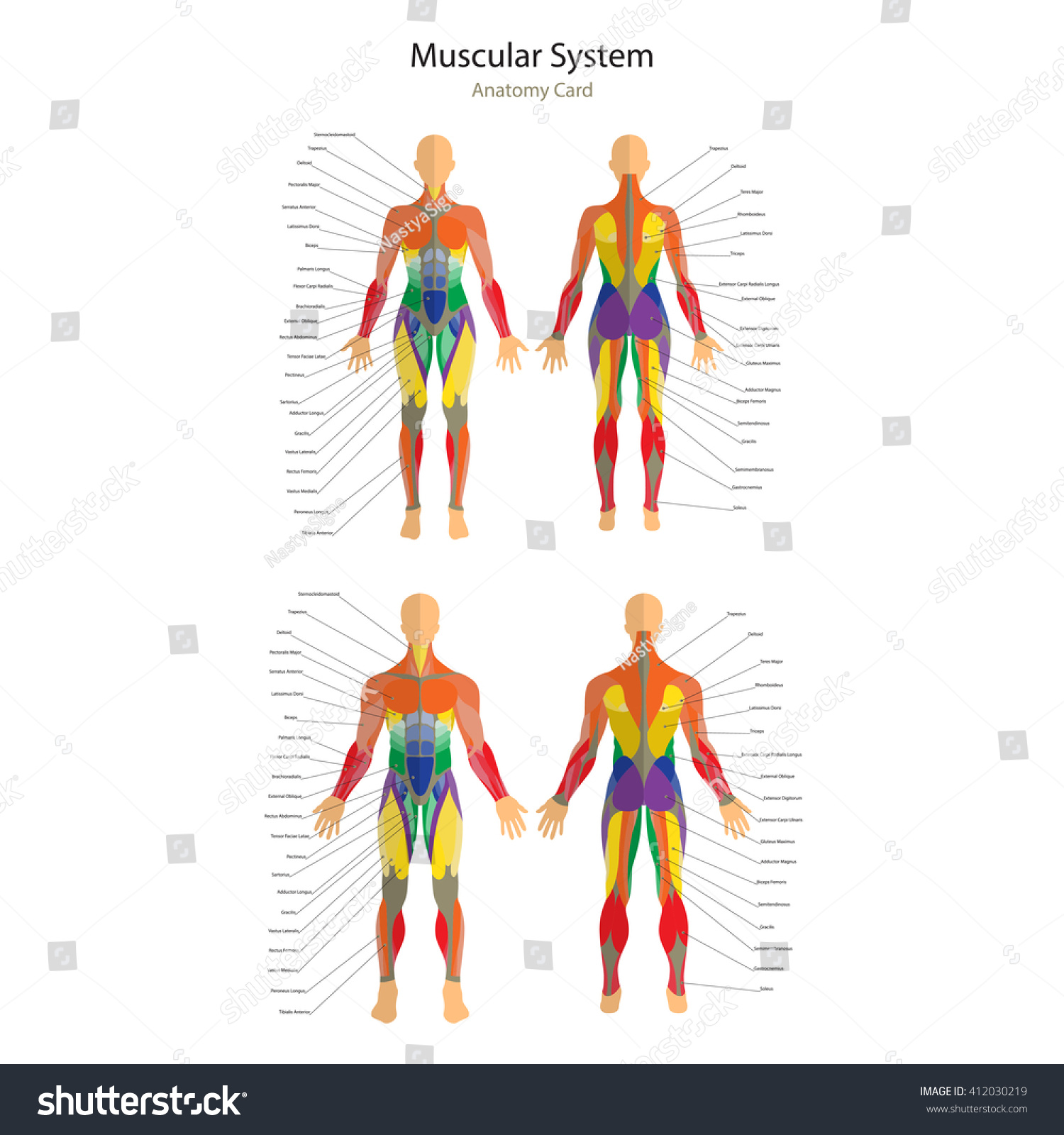 Illustration Human Muscles Female Male Body Stock Vector Royalty