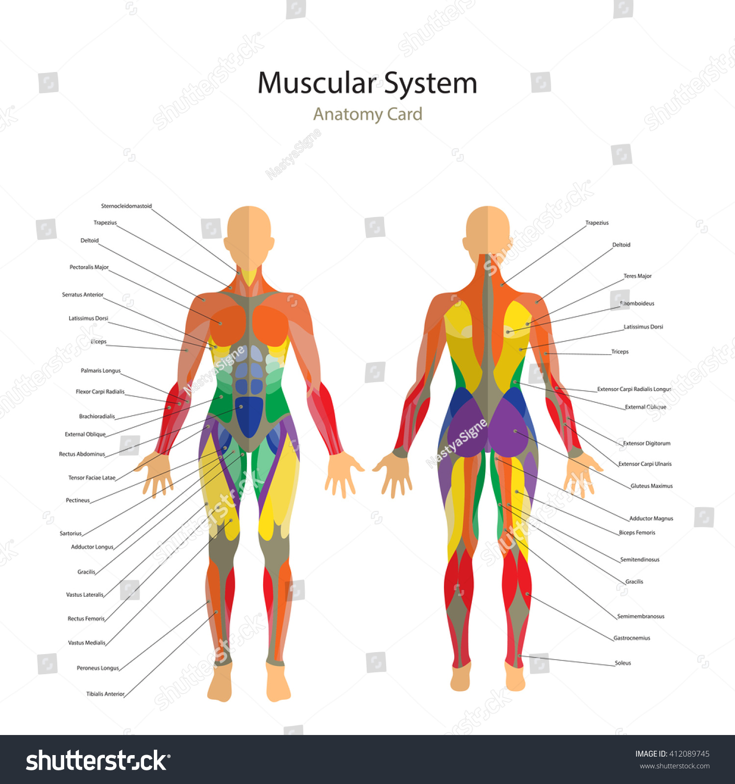 Illustration Human Muscles Female Body Front Stock Vector Royalty