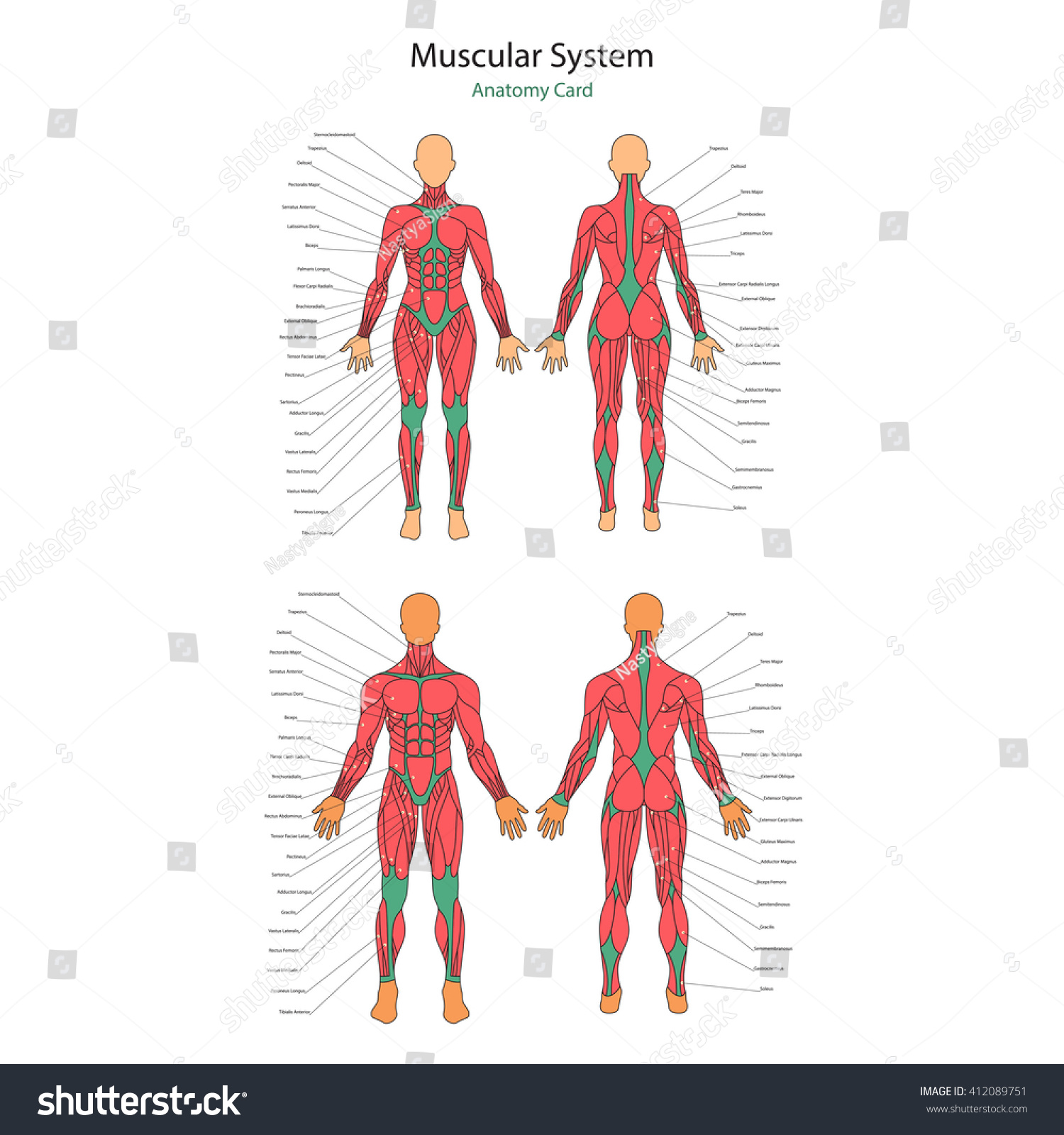 Illustration Human Muscles Female Male Body Stock Vector 412089751 ...