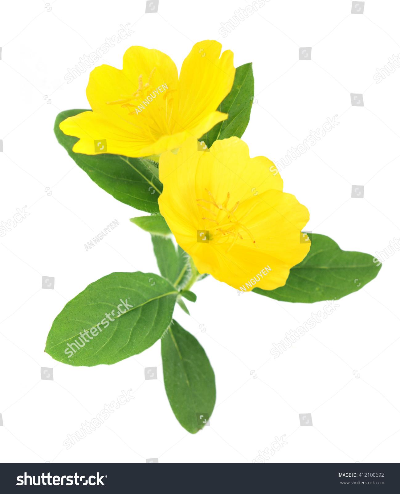 Yellow Primrose Oenothera Frutcosa Flower Isolated Stock Photo Edit