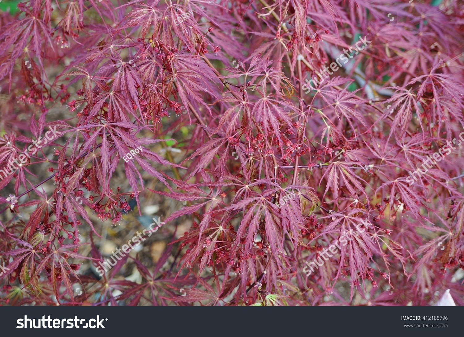 Red Foliage Weeping Laceleaf Japanese Maple Stock Photo Edit Now