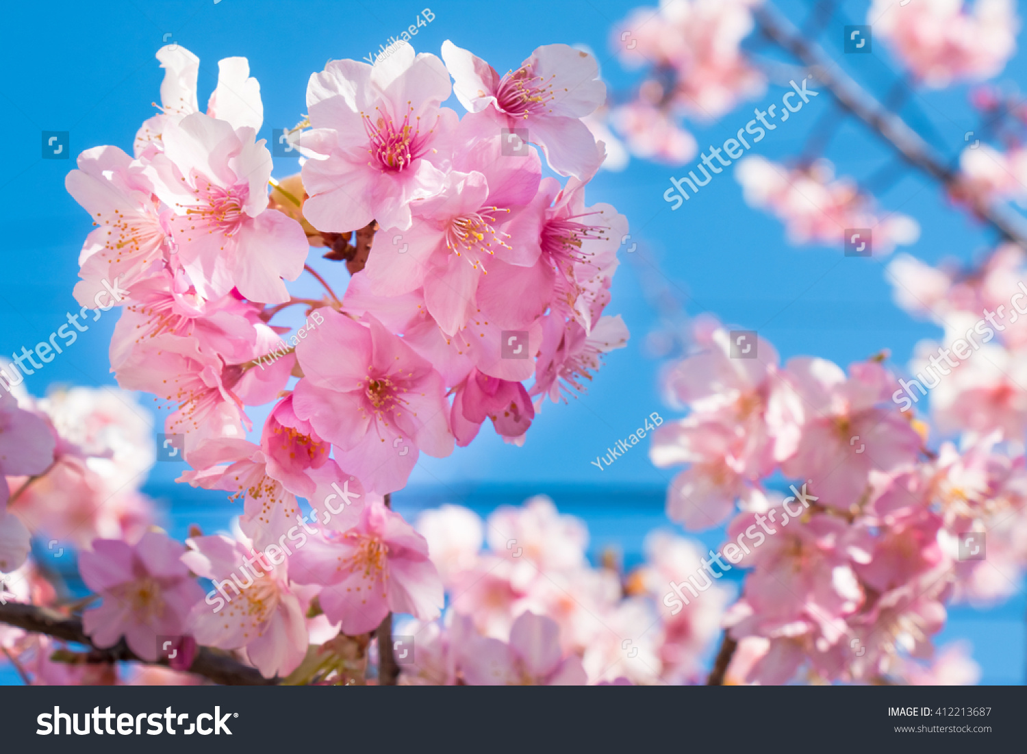 Pink Sakura Cherry Blossom Is The Most Beautiful Flower In Japan