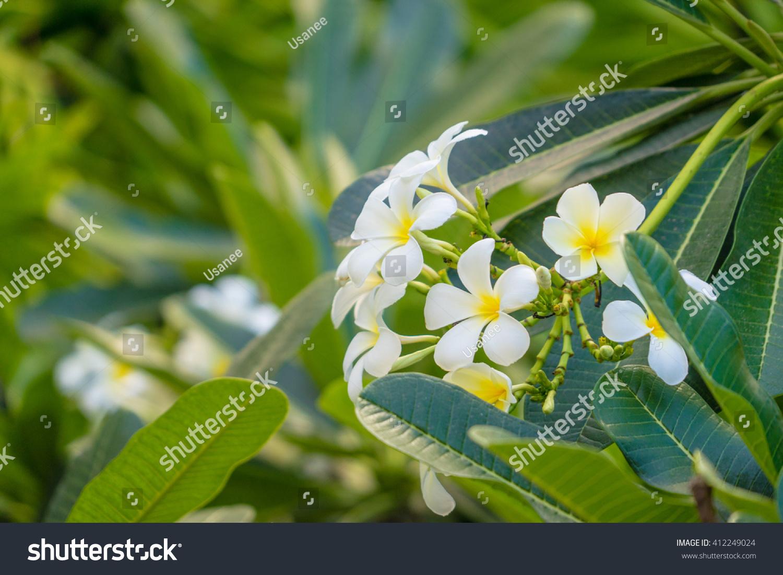 Frangipani Tropical Plant Delicate White Yellow Stock Photo Edit